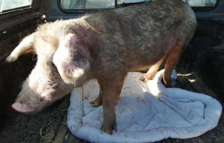 pig rescue greyton farm sanctuary