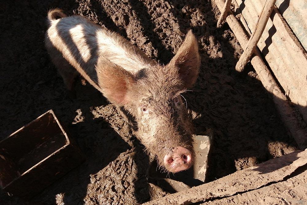 pig-greyton-farm