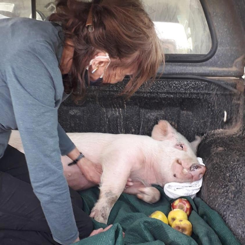 piglet jumps from lorry
