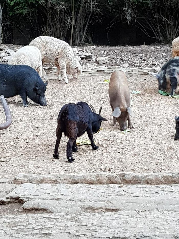 Hilda Goat Greyton Farm