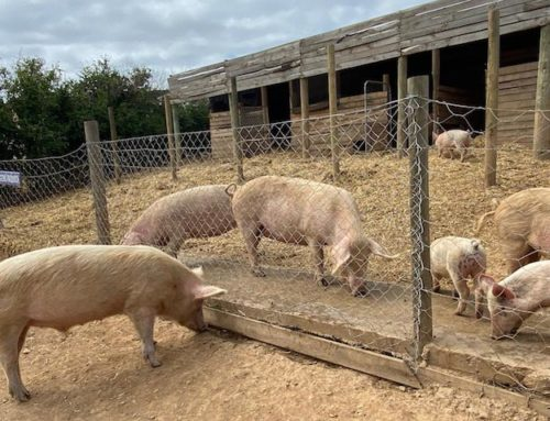 Caution, Overwhelming Pigs Ahead… A visit to the Greyton Farm Animal Sanctuary, September 2020