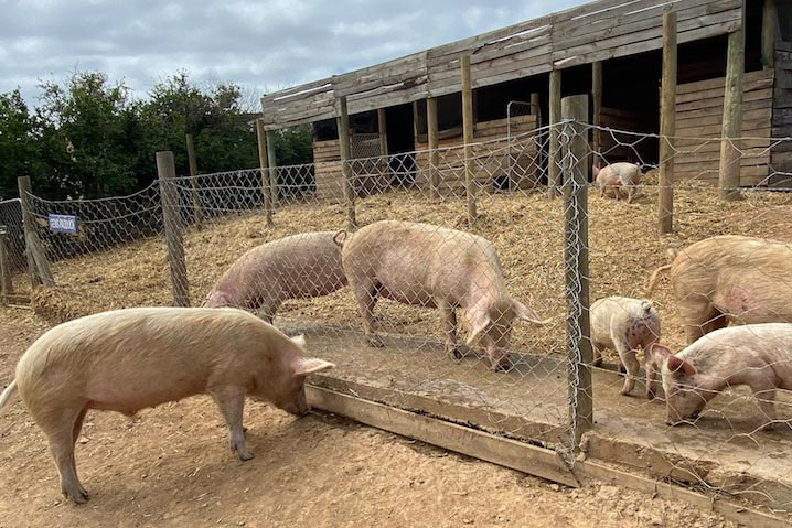 greyton farm sanctuary pigs